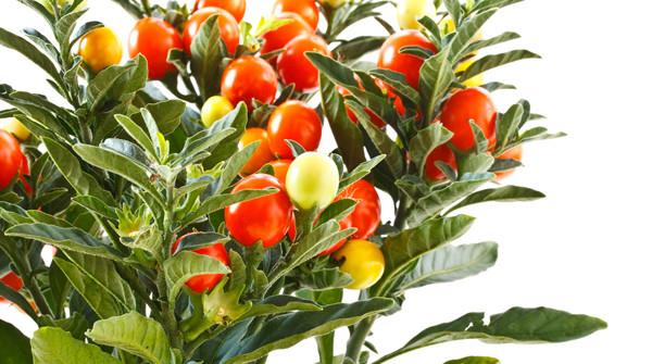 Ashwaganda plant